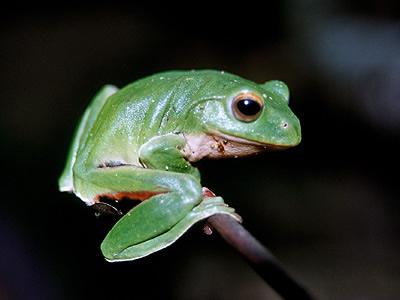 壁纸 动物 两栖 蛙 400_300